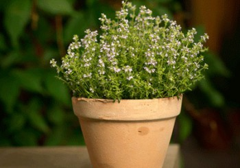 Pharmaceutical Use of Thyme