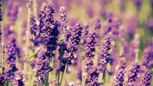lavender-flowers-hd-wallpaper_092745846