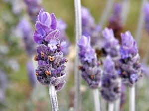 Lavender Farm (35)