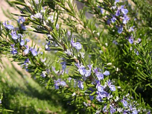 flowering-rosemary-5200034