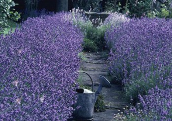 Verbena and lavender for relaxing days and nights