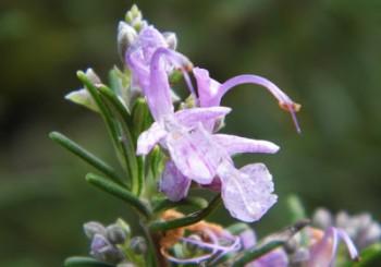 History of Rosemary